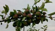 продажа Агробизнеса по промышленному выращиванию яблок Турийск